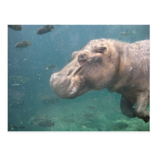 carte postale d'hippopotame