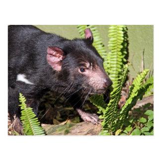 Carte Postale Diable tasmanien, Australie