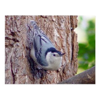Carte postale d'oiseau de sittelle