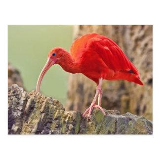 Carte postale d'oiseau d'IBIS d'écarlate