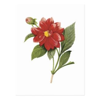 Carte Postale double dahlia (espèces de dahlia) par Redouté