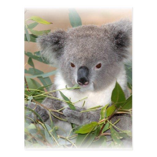 Carte postale d'ours de koala