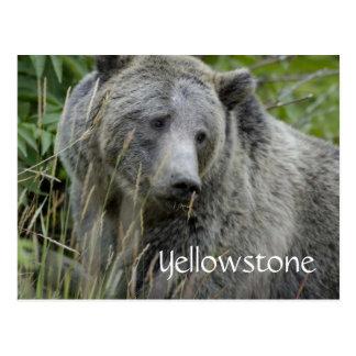 Carte postale d'ours gris de Yellowstone
