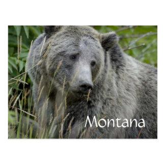 Carte postale d'ours gris du Montana