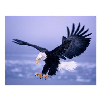 Carte Postale Eagle chauve débarquant l'étendre d'ailes dans une