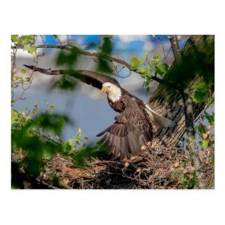 Carte Postale Eagle chauve partant du nid