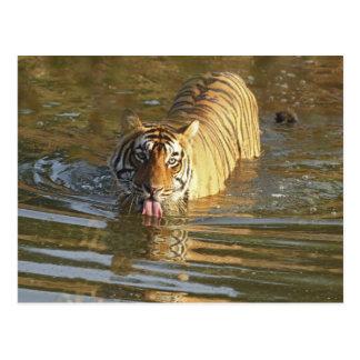 Carte Postale Eau potable royale de tigre de Bengale,