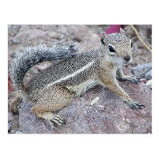 Carte Postale Écureuil d'antilope de Harris