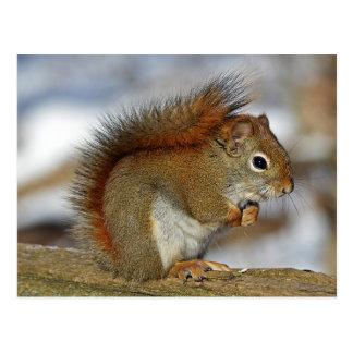Carte Postale Écureuil rouge magnifique