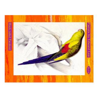 Carte Postale Edward Lear. Parakeet. à queue noire