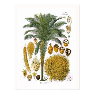 Carte Postale Elaeis guineensis (palmier à huile)