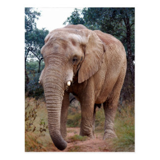 Carte Postale Éléphant africain dans le buisson