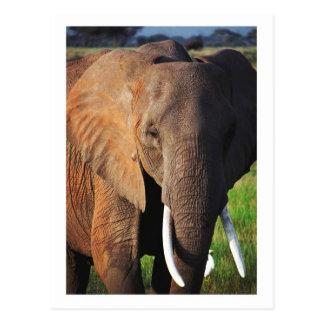 Carte Postale Éléphant au parc national d'Amboseli, Kenya