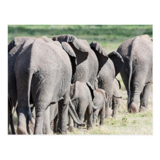 Carte Postale Éléphant de Bush d'Africain (Loxodonta Africana) 4