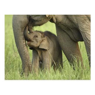 Carte Postale Éléphant indien/asiatique et jeunes un, Corbett 2