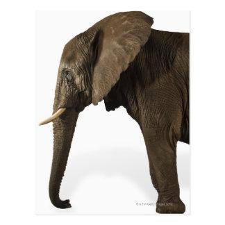 Carte Postale Éléphant sur l'arrière - plan blanc, vue de côté