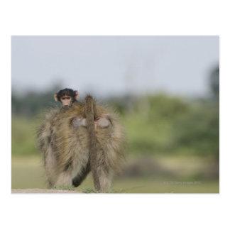 Carte Postale Équitation de babouin de Chacma de bébé (ursinus
