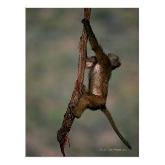 Carte Postale Escalade olive de babouin (anubis de Papio) sur la