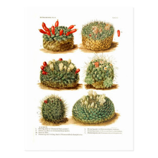 Carte Postale Espèces de Neomammillaria