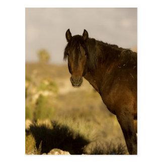 Carte Postale Étalon sauvage de mustang, troupeau de Wheeler