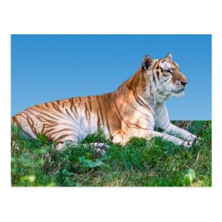 Carte postale étendue de tigre
