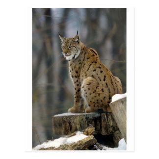 Carte Postale Eurasien Lynx (lynx de Lynx) 3
