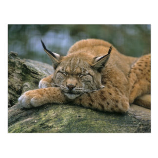 Carte Postale Europ�_ischer Luchs, Eurasischer Luchs (Lynx