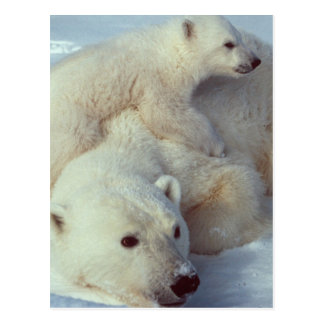 Carte Postale Famille blanche d'ours blanc