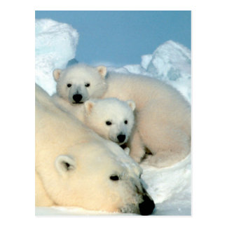 Carte Postale Famille d'ours blanc