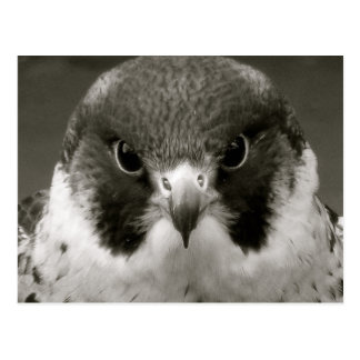 Carte Postale Faucon de Pelegrine en noir et blanc