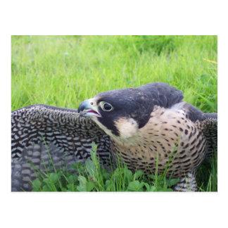 Carte Postale Faucon de Peregine dans l'herbe