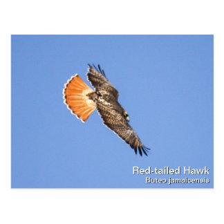 Carte Postale faucon Rouge-coupé la queue