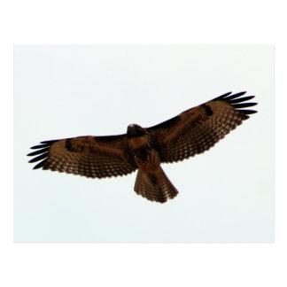 Carte Postale faucon Rouge-coupé la queue en vol, le comté de