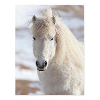 Carte Postale Fermez-vous d'un cheval islandais blanc