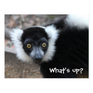 Carte Postale Fermez-vous d'un lémur noir et blanc de Ruffed