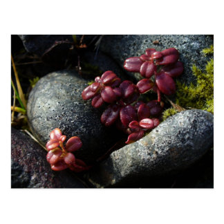 Carte Postale Feuille d'airelle - couleurs d'automne, Unalaska
