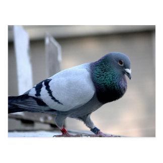 Carte postale fière de pigeon voyageur