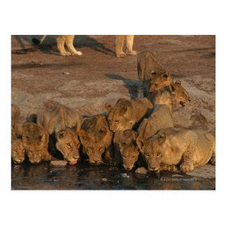 Carte Postale Fierté du boire de lions