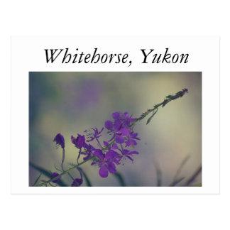 Carte Postale Fireweed, lac Fox, Whitehorse, le Yukon