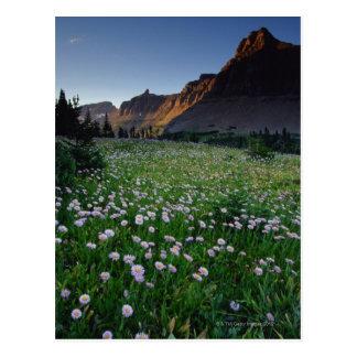 Carte Postale Fleabane dans le pré alpin au passage de Logan,
