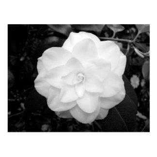 Carte Postale Fleur blanche. (Noir et blanc)