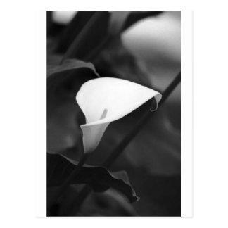 Carte Postale Fleur de Cala-Lilly