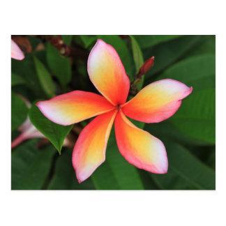 Carte Postale Fleur de Frangipani