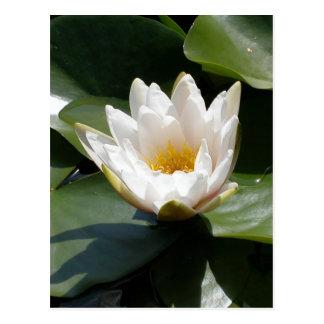 Carte Postale Fleur de Lotus blanche de nénuphar