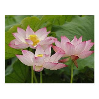 Carte Postale Fleur de Lotus, nucifera de Nelumbo, Chine 2