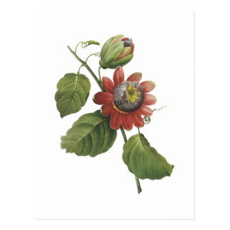 Carte Postale fleur de passion (alata de passiflore) par Redouté