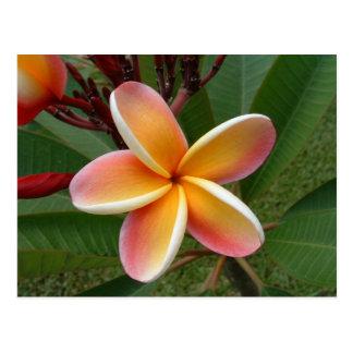 Carte Postale Fleur de Plumeria - Oahu, Hawaï