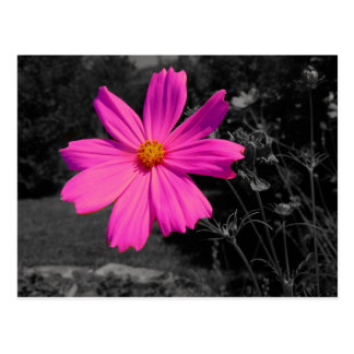 Carte Postale fleur de rose d'éclaboussure de black&white