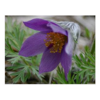 Carte Postale Fleur d'état au nord-sud de Pasque Dakota de