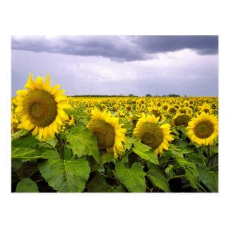 Carte Postale Fleur d'état du Kansas - le tournesol